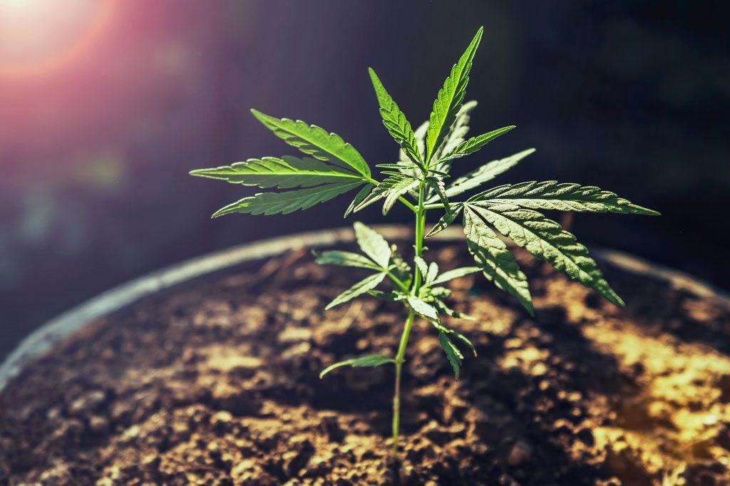 Kannabisz termesztés
